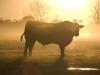 Morning Bull